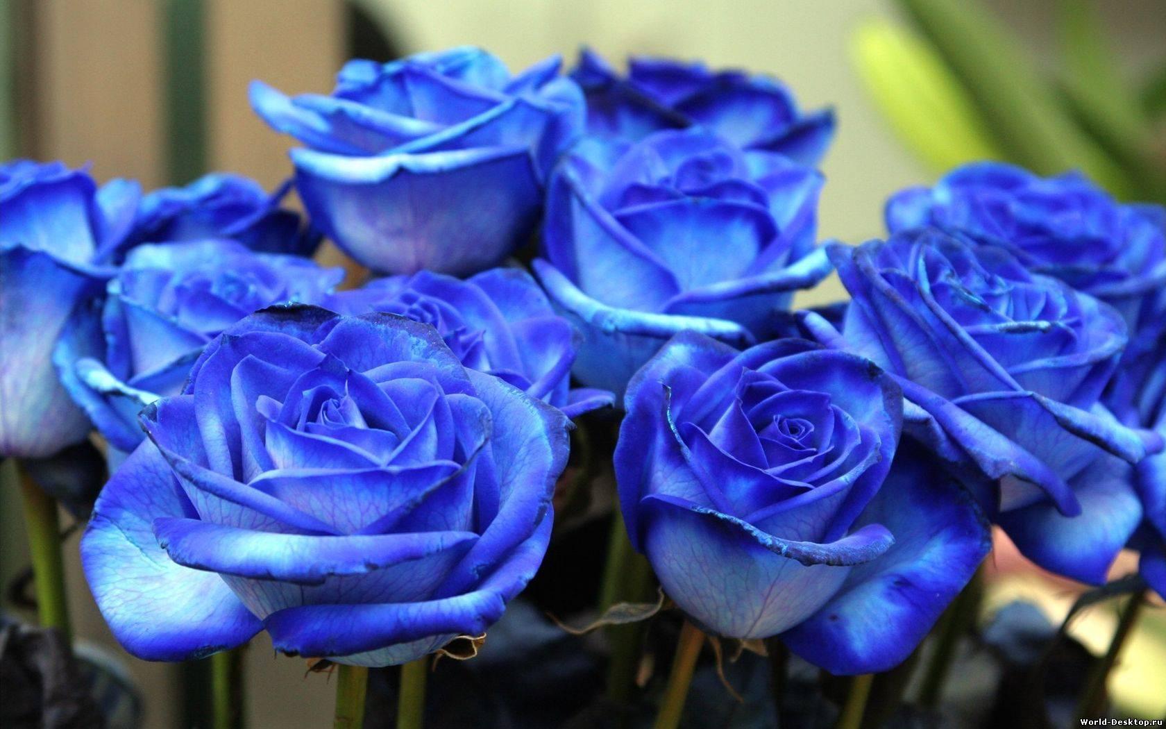 Картинки синие розы скачать бесплатно - ad69c